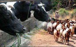 اسلام آباد : عید الاضحیٰ تک مویشیوں کی برآمد پر پابندی عائد