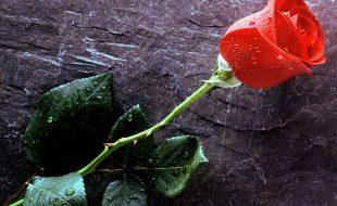 روش روش پہ ہیں نکہت فشاں گُلاب کے پھول