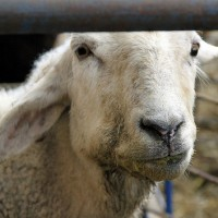 Mouth sick sheep