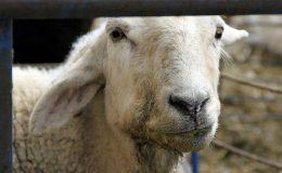 حکومت بتائے کہ بیمار بھیڑیں پاکستان کیوں آنے دی گئیں، شیریں ارشد