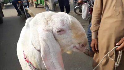 Bakra Eid