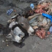 Karachi Donkeys Slaughter