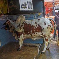 Eid-ul-Adha - Animals