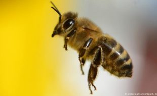 شہد کی مکھی کا زہر ہزاروں عورتوں کی زندگیاں بچا سکتا ہے