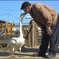 Garip Swan